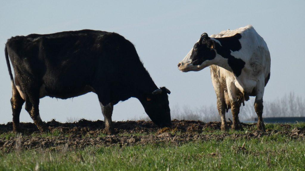 vaches-laitieres-marais-poitevinbaptiste-rannou